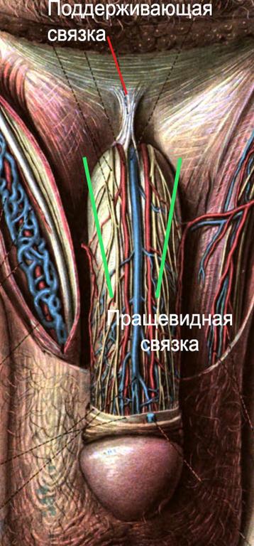 nugaros varpos arterija