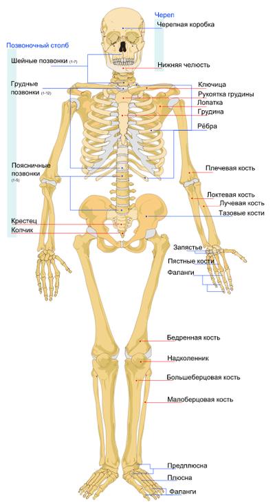 scheletul pierde in greutate pierde 6 grăsimi corporale în 8 săptămâni